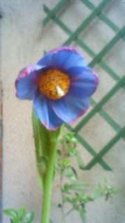 青い芥子の花.jpg